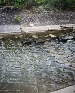 Canards à l'étang de Rico-Plage