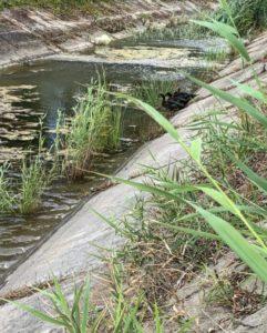 Canards au loin dans l'étang à Rico-Plage