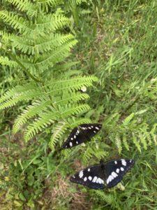 Papillons à Talasani
