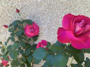 Roses à Termini Bianchi