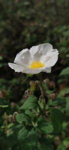 Fleur blanche Talasani